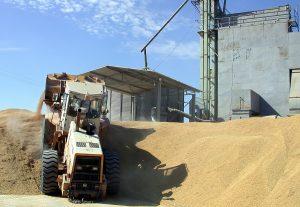 2003 Συγκέντρωση μακρύσπερμου ρυζιού στο Άδενδρο